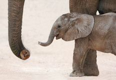African Elephant Baby and Mom. Cute baby African elephant reaching out with it's trunk to it's mother Stock Photos