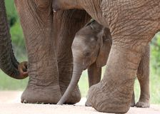 African Elephant Baby and Mom Royalty Free Stock Photography