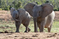 African Elephant Baby and Mother Royalty Free Stock Images