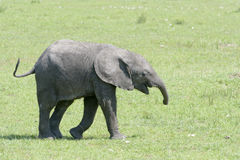 African Elephant baby on savanna Royalty Free Stock Images
