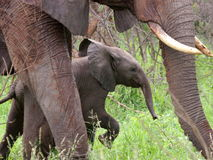 African elephant. Baby  walking with the herd Royalty Free Stock Images