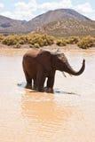 African elephant bathing Royalty Free Stock Photo