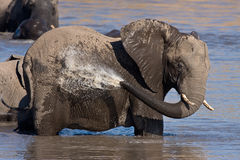 African Elephant bathing. Large African Elephant bathing in the waters of Mpondo in Kruger Royalty Free Stock Photo