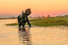 African elephant bathing at dusk. African elephant bathing as the sun sets in the chobe river flapping its ears with relish Royalty Free Stock Photo