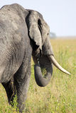 African elephant from behind Stock Image