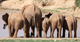 African Elephant Behinds Royalty Free Stock Photos
