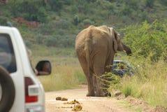 African elephant. Big african elephant bull feeding Royalty Free Stock Photos