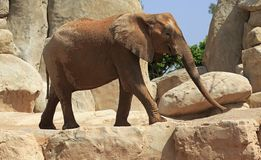 African elephant,Bioparc, Valencia, Spain Stock Photo