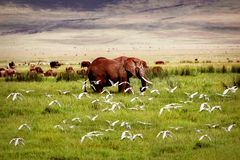 African elephant and birds in the Ngorongoro crater in the background of mountains. Stock Photography