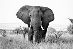 African Elephant. Black and White of a mature African Elephant (Loxodonto Africana) bull. (Art processing stock photo