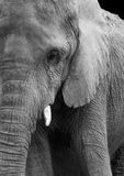 African Elephant in Black and White Stock Photos