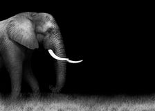 African elephant in black and white. Wild African elephant in monochrome with copy space Stock Photo