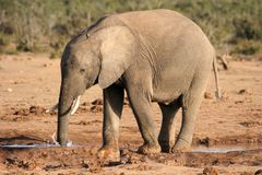 African Elephant Blowing Bubbles Royalty Free Stock Photo