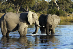 African Elephant - Botswana. African elephant (Loxodonta africana) drinking at a waterhole in Savuti in Botswana Royalty Free Stock Images