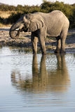 African elephant - Botswana. African elephant drinking at a waterhole in Savuti in Botswana Royalty Free Stock Image