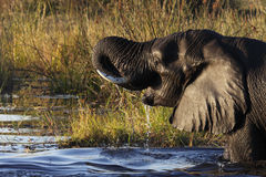 African Elephant - Botswana Stock Photography