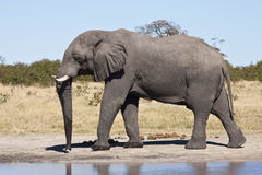 African Elephant - Botswana. An African Elephant (Loxodonta africana) by a waterhole in the Savuti region of northern Botswana Royalty Free Stock Photos