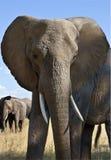 African Elephant - Botswana Stock Images