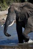 African Elephant - Botswana Stock Photography