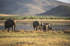 African Elephant. Breeding herd coming from the lake Royalty Free Stock Photography