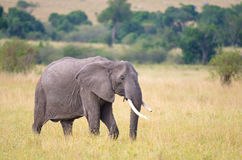 African elephant with broken tusk. An african elephant with a broken tusk walking on  on the plains Royalty Free Stock Images