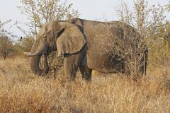 African elephant browsing in dry veldt Stock Photo