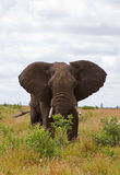African elephant browsing in Grass-field. African elephant browsing; Loxodonta africana royalty free stock image