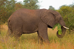 African elephant browsing in Grass-field. African elephant browsing; Loxodonta africana royalty free stock photo