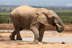 African Elephant Bull Stock Photos