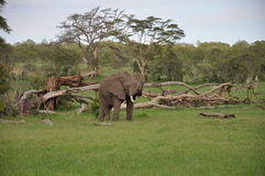 African elephant bull Royalty Free Stock Images