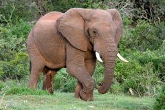 African Elephant Bull Royalty Free Stock Photos