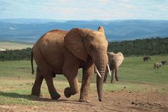 African Elephant Bull. A herd of Elephants grazing the hillside near a waterhole at the national Addo Elephant Park, Eastern Cape, South Africa Stock Images