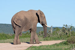 African Elephant Bull. Blocking the road in Addo Elephant Park, South Africa Royalty Free Stock Image