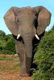 African Elephant Bull. On an afternoon strol stock photo