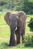 African Elephant Bull. A young African Elephant Bull walking out of the dense Addo bush royalty free stock photography