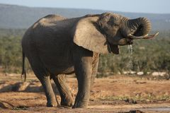 African Elephant Bull Drinking Stock Photography