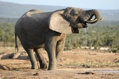 African Elephant Bull Drinking Royalty Free Stock Images