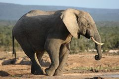 African Elephant Bull Drinking Water Stock Photo
