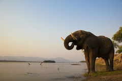 African Elephant bull drinking on the Zambezi rive. R at sunset Stock Images