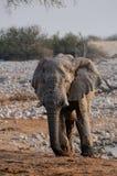 African elephant bull, etosha nationalpark, namibia Royalty Free Stock Image