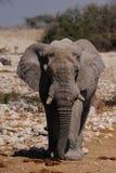 African elephant bull, etosha nationalpark, namibia Royalty Free Stock Photography