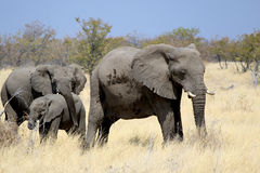 African elephant bull in Etosha Wildlife Reserve Royalty Free Stock Image