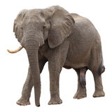 African Elephant. Bull isolated on white background Stock Photos