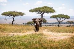 African Elephant Bull in Kenya Africa Acacia Tree Field stock photo