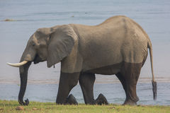 African Elephant bull kneeling on the banks of Zambezi Royalty Free Stock Photo