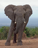 African Elephant bull leaning to one side. At Spekboom Waterhole, Addo Elephant National Park, South Africa stock image