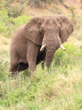 African Elephant Bull (Loxodonta Africana). Feeding in a river bed stock photos
