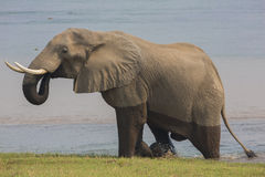 African Elephant bull (Loxodonta africana) climbing out of Zambe. Zi river,drinking Stock Photo