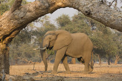 African elephant bull (Loxodonta africana). Framed by tree branch Stock Photos