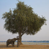 African Elephant bull (Loxodonta africana) pushing tree Stock Photo